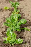 Plantation of Swiss chard in the garden Royalty Free Stock Images