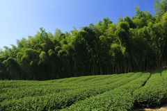 Plantation tea Royalty Free Stock Photo