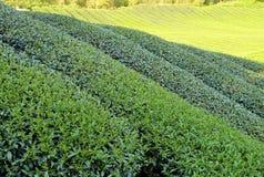 The plantation of tea at farm Royalty Free Stock Photos