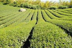 The plantation of tea at farm Stock Image