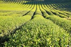 The plantation of tea at farm Royalty Free Stock Photo