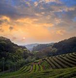 Plantation of tea on mountain Stock Photos