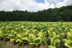 Plantation of tobacco Royalty Free Stock Images