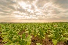 Plantation tobacco in the farmland. Plantation tobacco grown in the farmland Royalty Free Stock Images