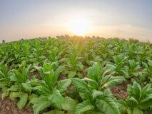 Plantation tobacco grown. In the farmland Stock Photo