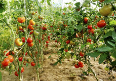 Plantation of tomatoes Royalty Free Stock Photography
