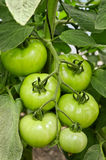 Plantation of Tomatoes Royalty Free Stock Photo