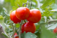 Cultivation of organic tomatoes in the organic garden greenhouse Stock Image