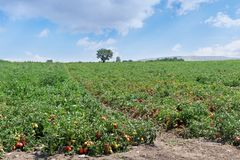 Plantation of tomatoes red and green color. Tomato field. royalty free stock images