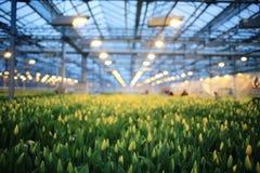 Plantation of tulips Royalty Free Stock Photos