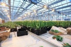 Plantation of tulips Stock Photos
