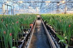 Plantation of tulips Stock Photo