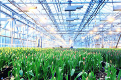 Plantation of tulips. In a greenhouse Agribusiness Stock Photography