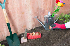 Plantation of tulips Royalty Free Stock Photography