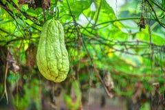 Plantation végétale au Vietnam Image libre de droits