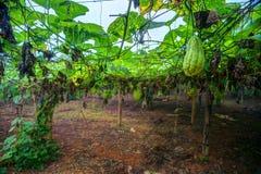 Plantation végétale au Vietnam Photo stock