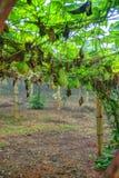Plantation végétale au Vietnam Images stock