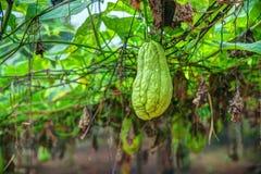 Plantation végétale au Vietnam Photo libre de droits