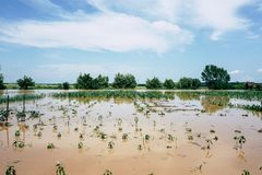 Plantation of vegetables and cereals destroyed by floods royalty free stock photo
