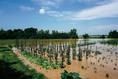 Plantation of vegetables and cereals destroyed by floods stock photo