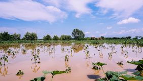 Plantation of vegetables and cereals destroyed by floods stock photos
