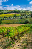 Plantation of vines near Montalcino in Tuscany Stock Image