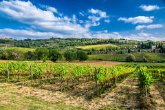 Plantation of vines near Montalcino in Tuscany Royalty Free Stock Photography