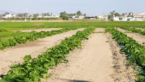 Plantation of watermelon Royalty Free Stock Photography