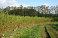 Plantation willow energy Royalty Free Stock Photo