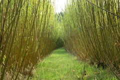 Plantation willow energy Royalty Free Stock Images