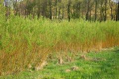 Plantation willow energy Royalty Free Stock Photos