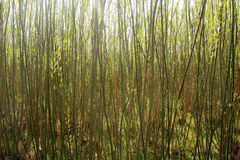 Plantation willow energy Royalty Free Stock Image