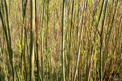 Plantation willow energy Royalty Free Stock Photography
