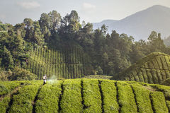 Plantation Worker On A Tea Field Stock Images