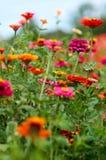 Tagetes, Safari Queen marigolds, flowers.Beautiful summer garden Royalty Free Stock Photos