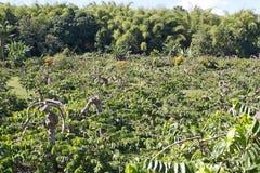 Plantation of ylang ylang, Nosy Be, Madagascar. The plantation of cananga tree (Cananga odorata) for the flowers called ylang ylang in the island of Nosy Be Royalty Free Stock Photo