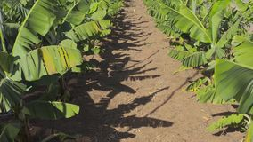 Plantation of young banana plants of the canarian archipelago. Plantation of young banana plants stock footage
