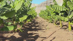Plantation of young banana plants. Of the canarian archipelago stock video footage