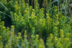 Plantation of young evergreen tree Royalty Free Stock Images