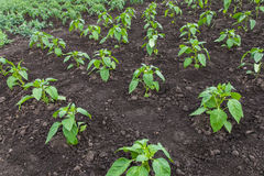 Plantation of young pepper Stock Photos