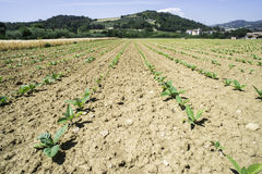 Plantation of young tobacco plants Stock Photo