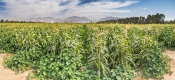 Field with corn. Panorama. Tropical agriculture industry in the Middle East. Plantations of corn have an important place in advanced desert agriculture of the Royalty Free Stock Photo
