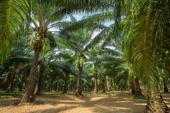 Plantations d'arbre d'huile de palme photo stock