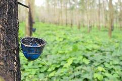 Plantations d'arbre en caoutchouc dans Sumatra du Nord, Indonésie Photos stock