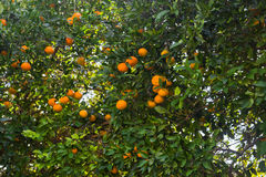 Plantations d'arbres oranges Oranges mûres et fraîches accrochant sur la branche Image libre de droits