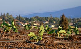 Plantations d'une banane d'un jour Image libre de droits