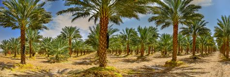 Plantation of Dates, maintenance. Tropical agriculture industry in the Middle East. Plantations of dates have an important place in advanced desert agriculture Stock Photo