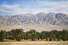 Plantations of dates palms in Israel Royalty Free Stock Image
