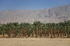 Plantations of dates palms in Israel Stock Images