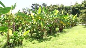 Plantations de banane banque de vidéos